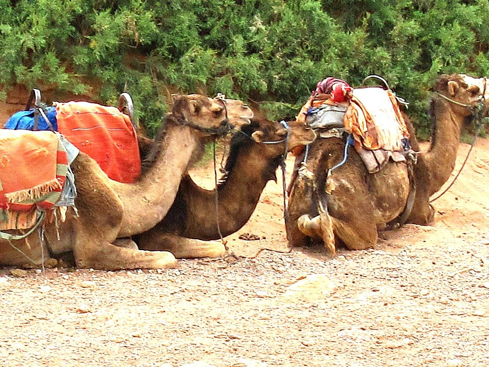 Camels waiting in the River Bed