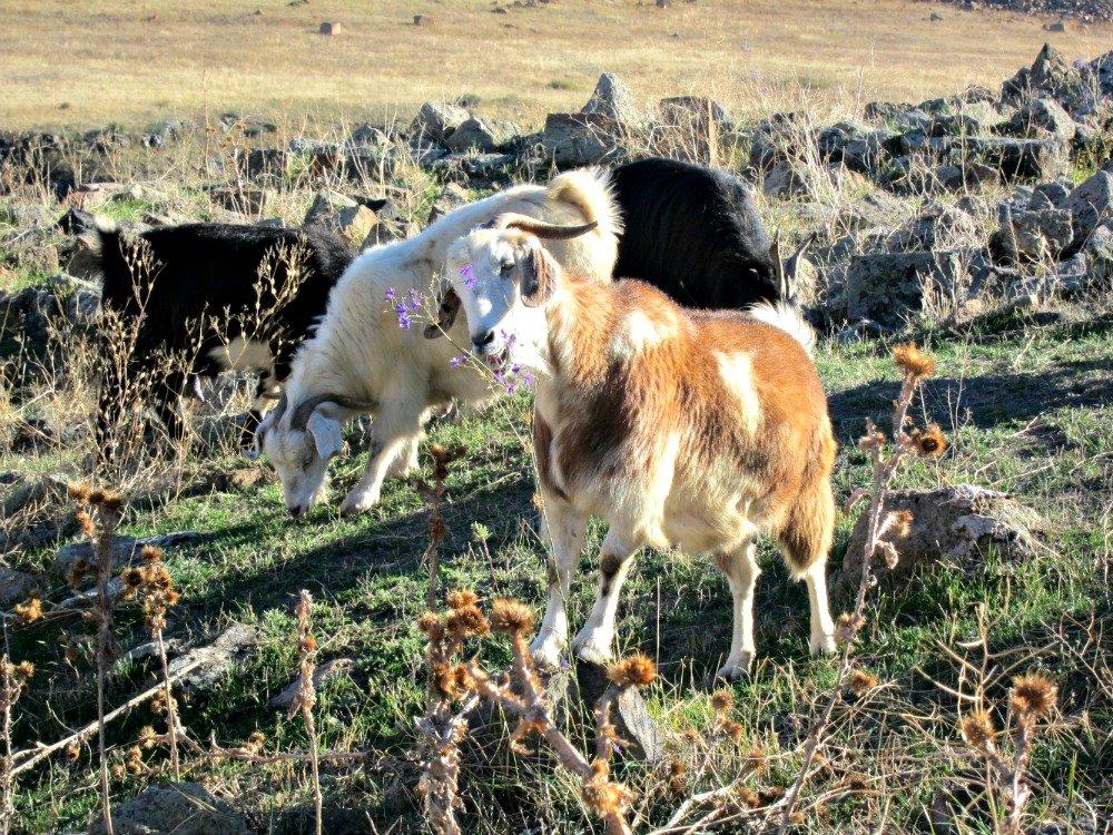 Ani Goats