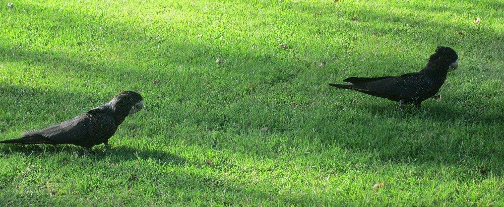 Black Cockatoo Walk