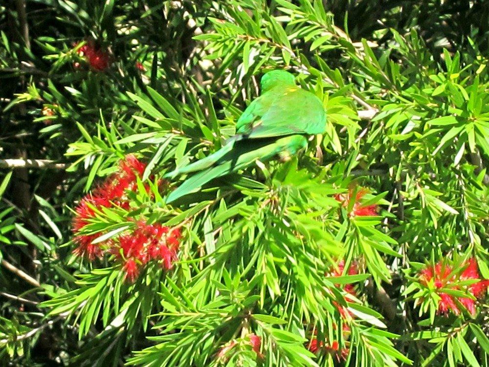 Townsville Rosella 4
