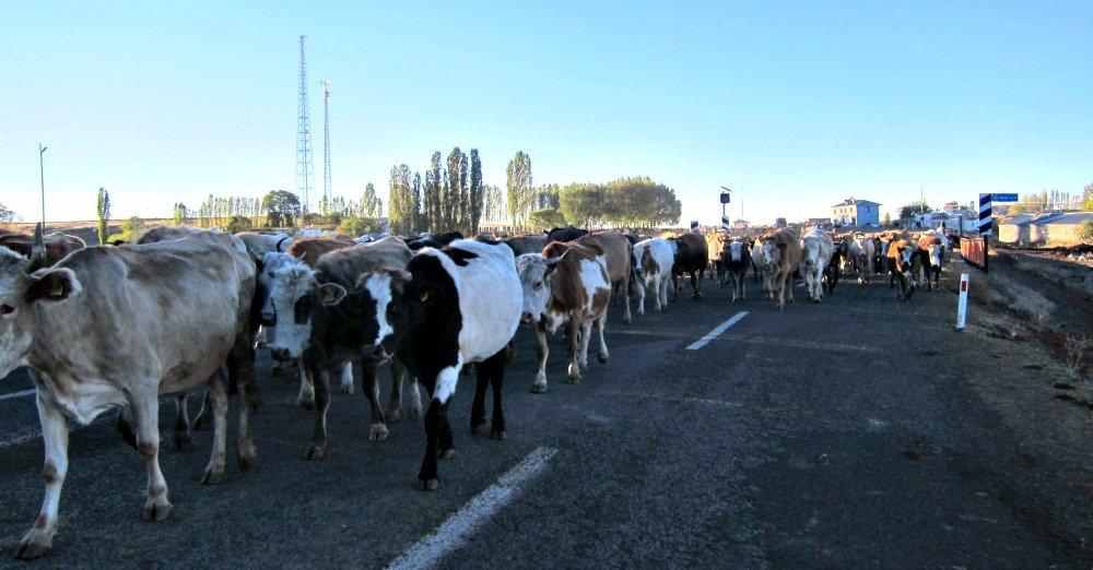 Ani to Kars Cows 6