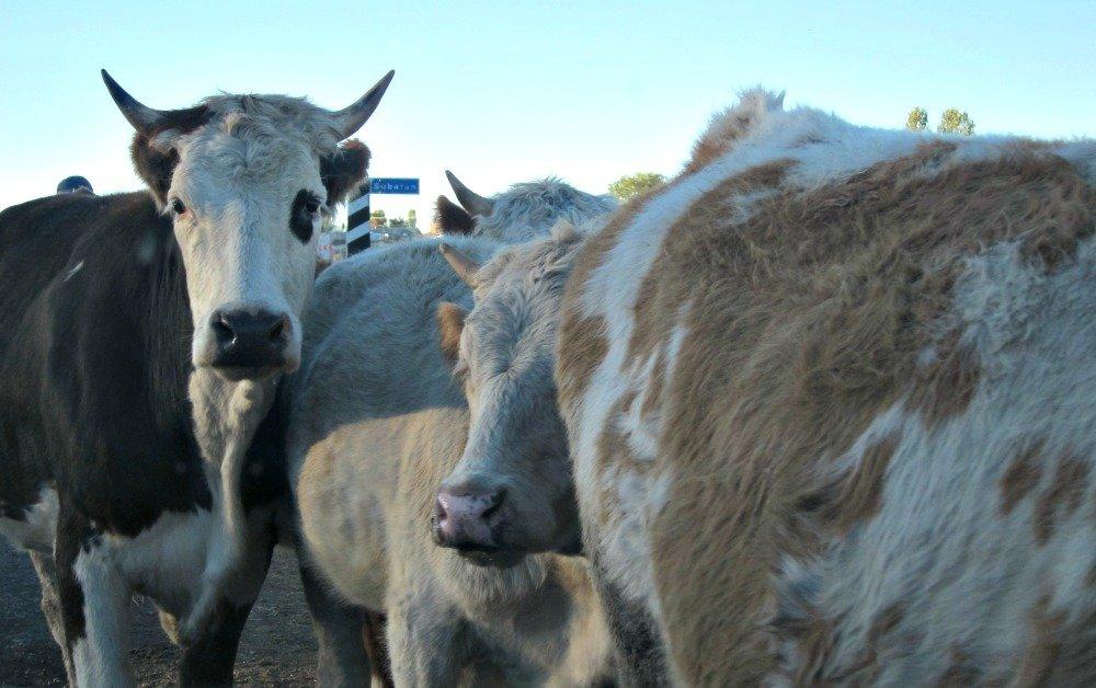 Ani to Kars Cows