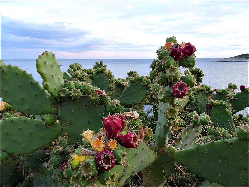 Hvar Pokonji Dol Beach Road flowering Cacti