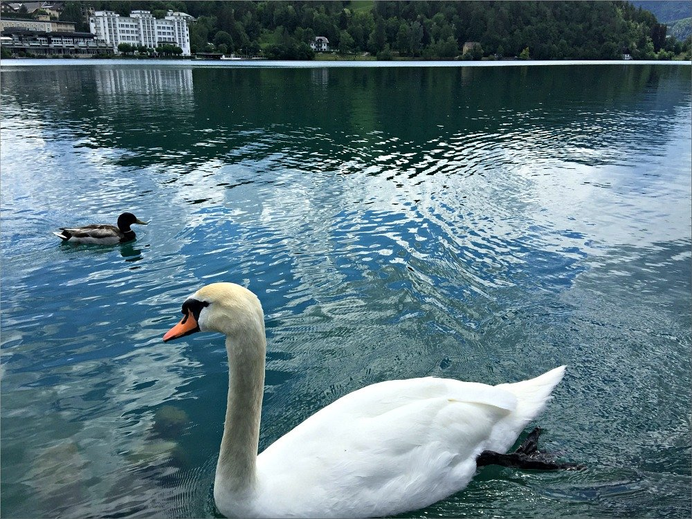 Bled Mute Swan