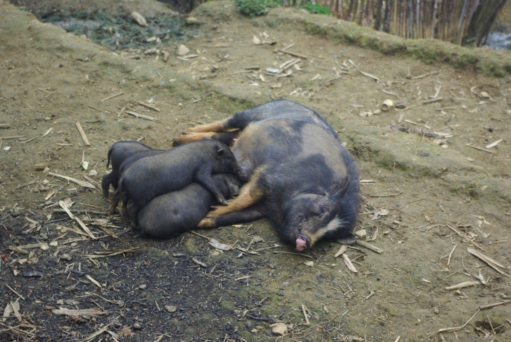 The pigs are always of the black and hairy type.