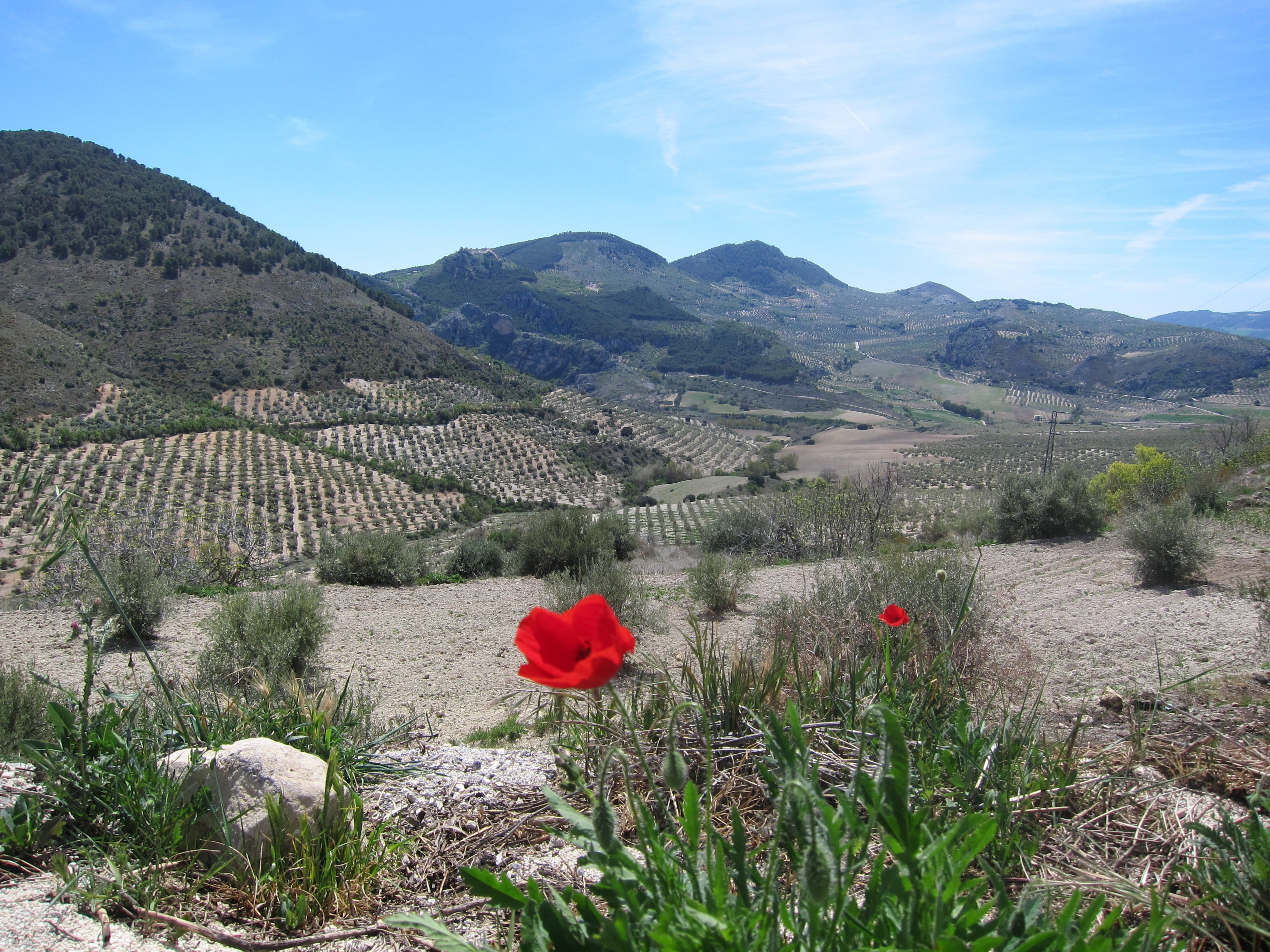 Anzac Day Poppies in the Andalusian hills