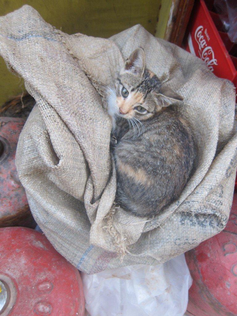 Healthy kitten in Essaouira