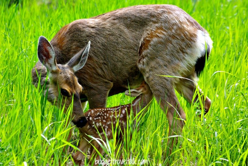 Fantastic Friday: Newly born Fawn and Mother in British Columbia, Canada