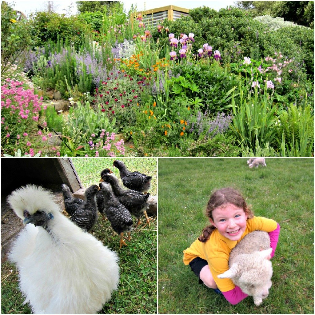 One of Gumtree's dreamy gardens: Mother Hen with adopted babies: Cuddle a lamb