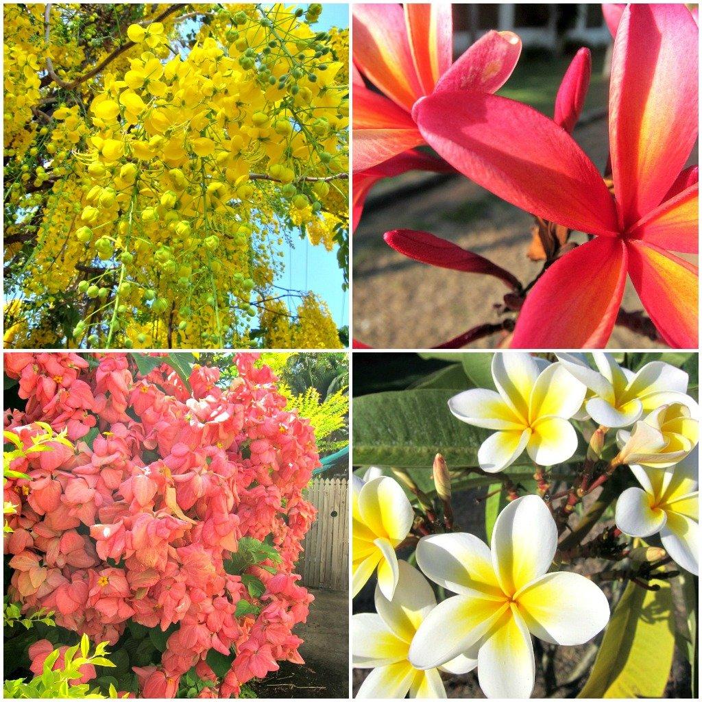 Cassia, Bangkok Rose, Frangipani Flowering in Townsville in December/January