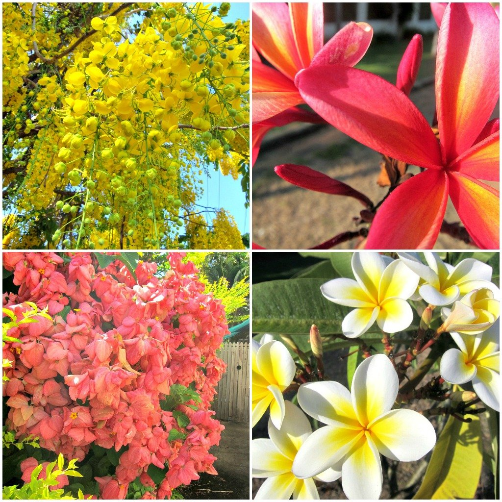 Frangipani and Cassia trees in flower and Bangkok Rose bushes are some of my favourites.