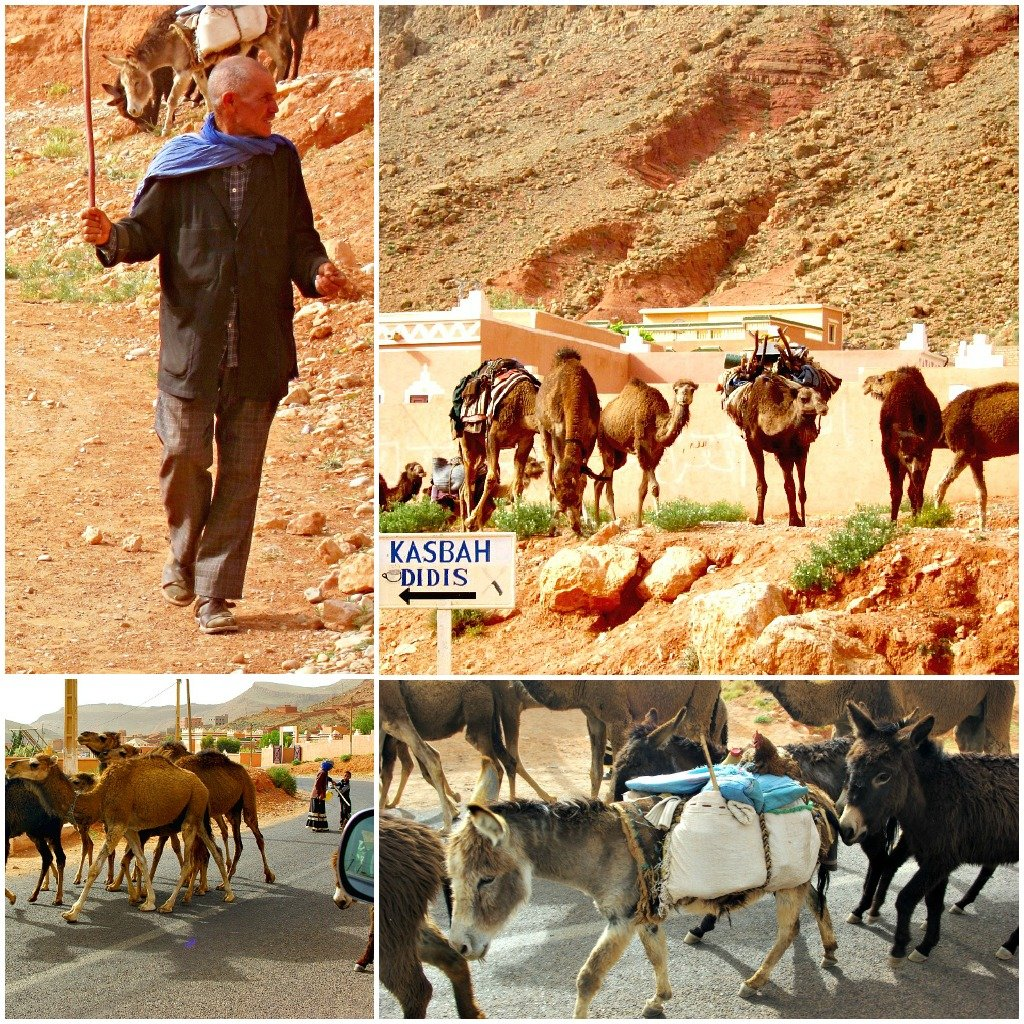 On leaving the Dades Gorge the road was blocked by Nomad's moving stock.