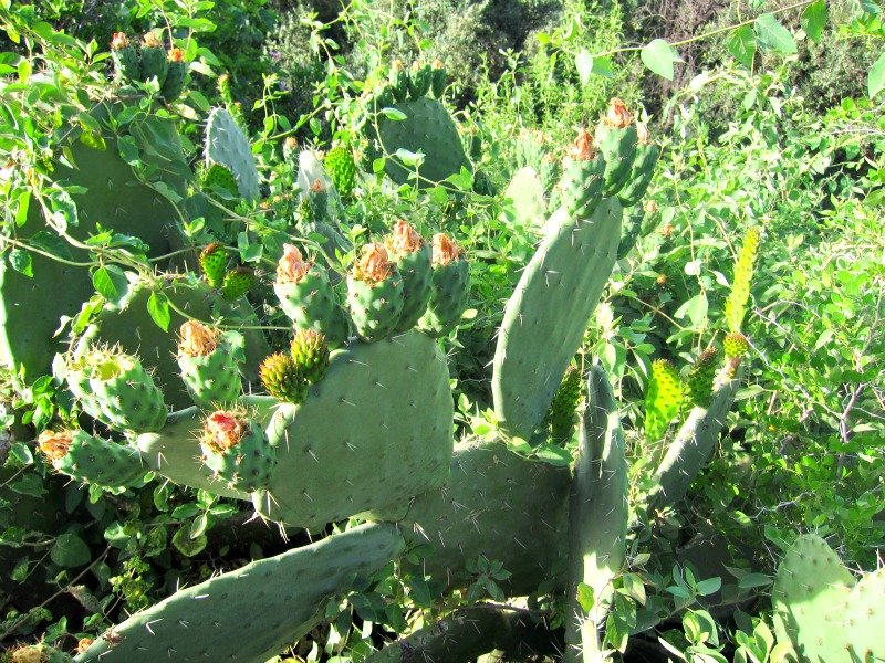 Moroccan Prickly Pear
