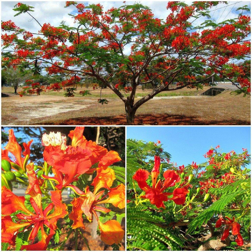 Poinciana Tree - A Destiny Maker