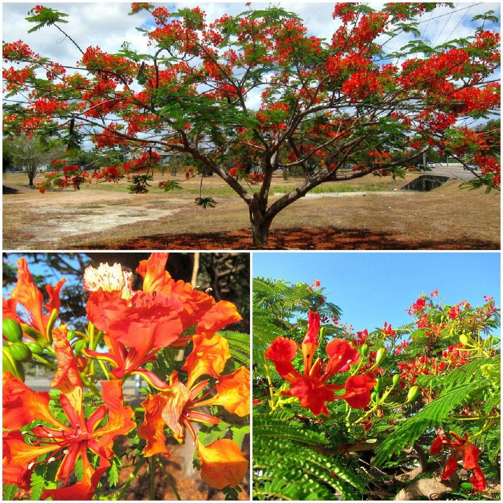 Poinciana Trees ARE Townsville.