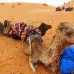 Fantastic Friday – 15 Reasons to Love a Camel