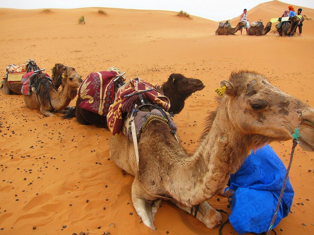 Parking the Camels in the Dunes of Erg Chebbi, Morocco is as easy as wrapping a rope around a bent knee.