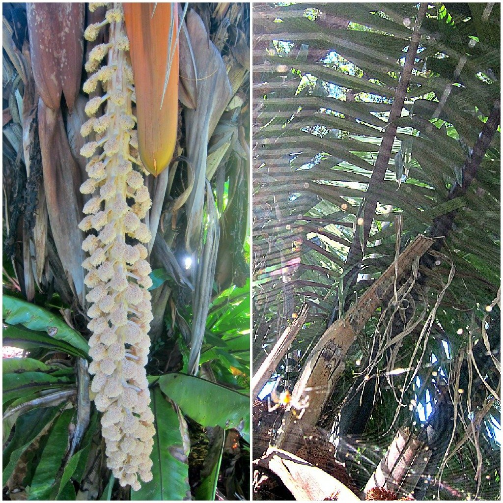 The Ivory Nut Palm that was in flower was from Equador.