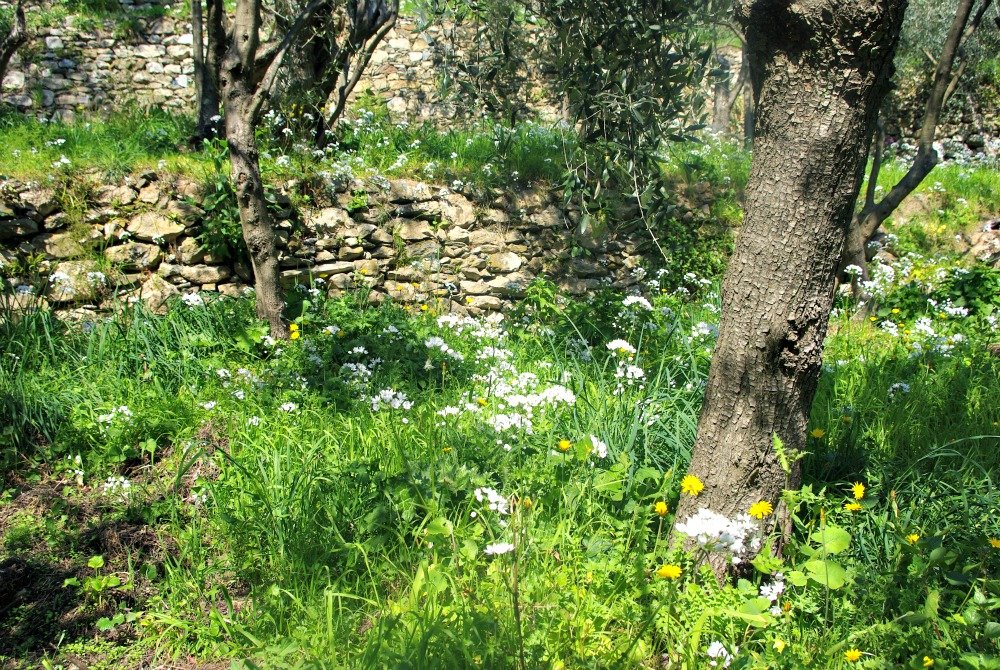 Between Vernazza and Corniglia, the terraces of olives were covered in spring flowers.