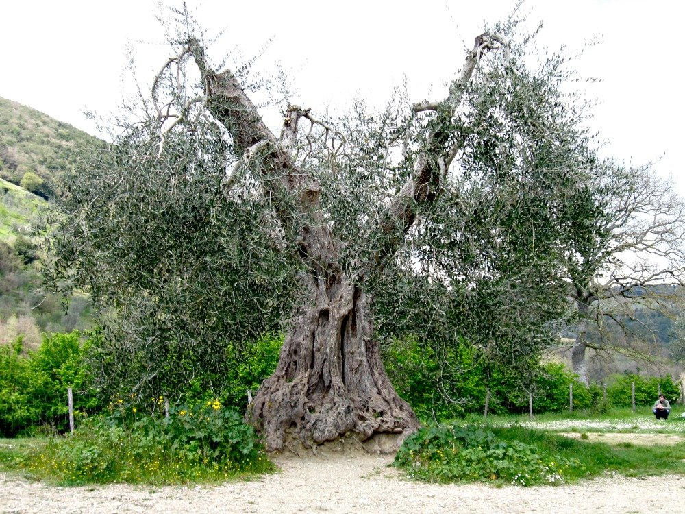 The Abbey has some ancient olive trees surrounding it.