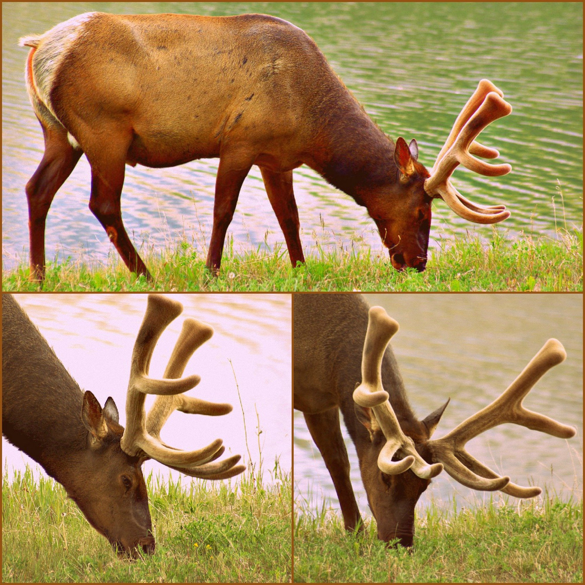 We loved seeing the elk with antlers