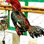 Fantastic Friday Laos Rooster