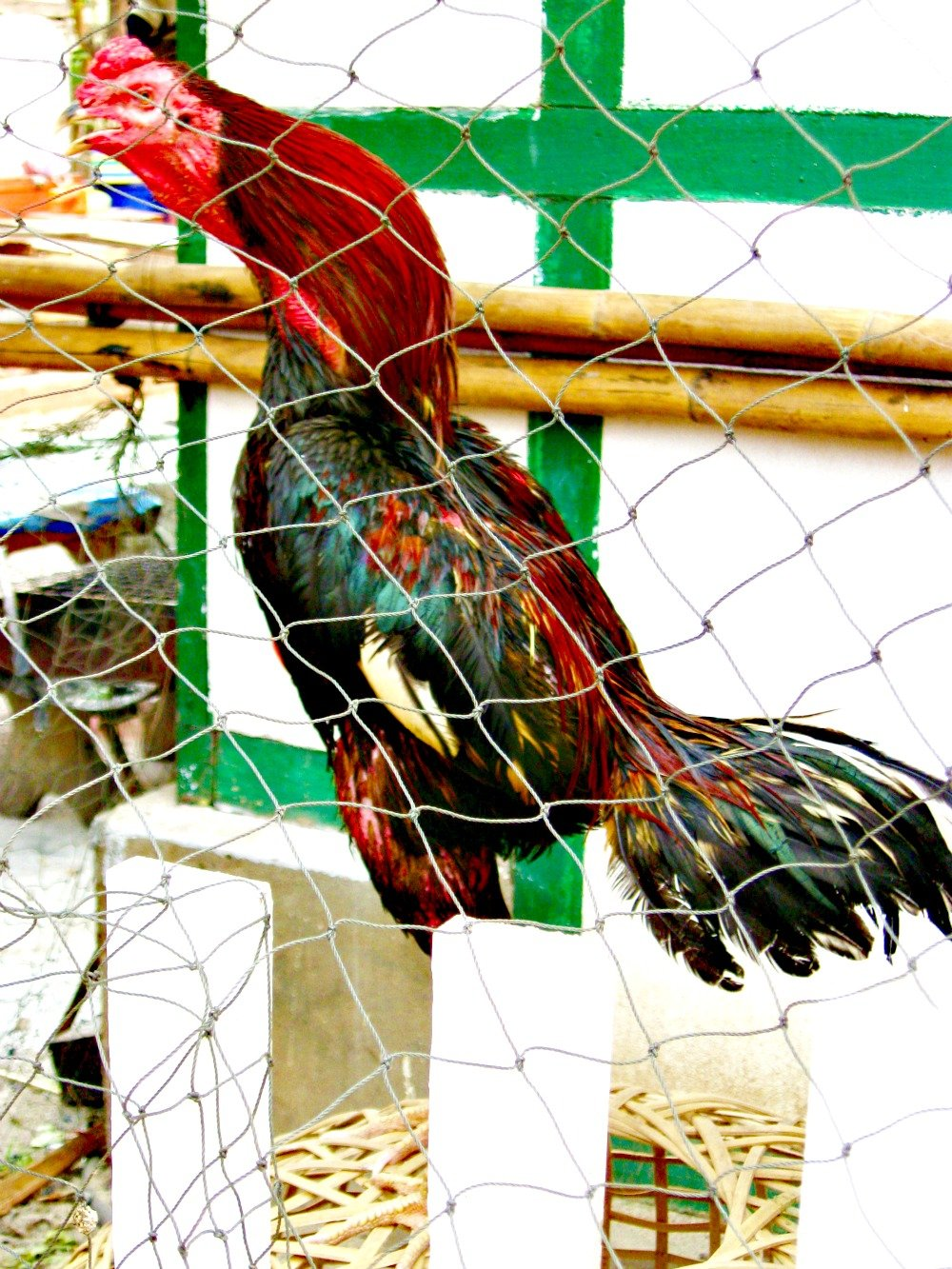 A rooster crowing in Luang Prabang.