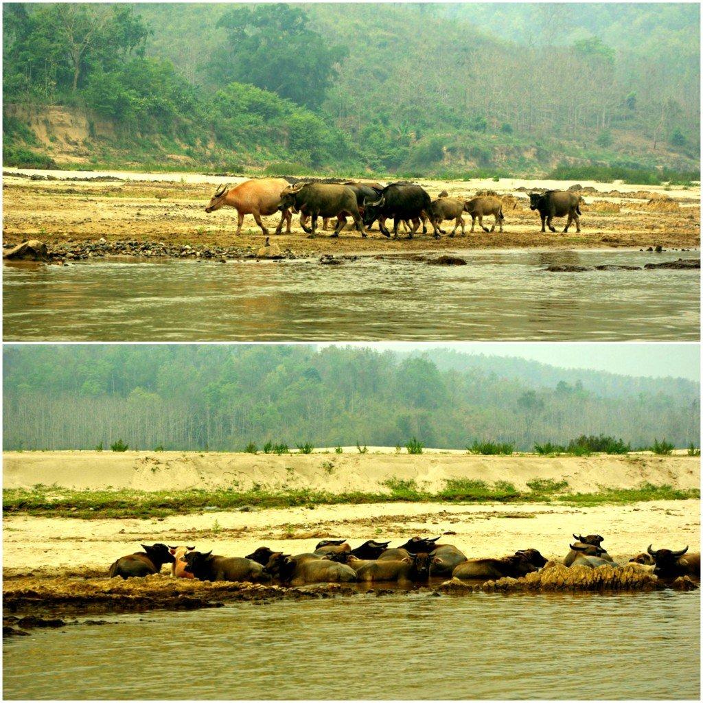 Mekong River Water Buffalo