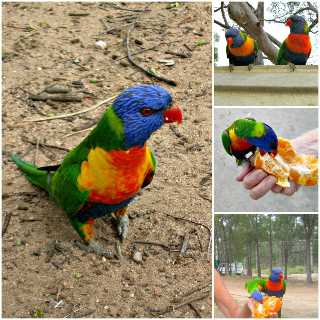 Rainbow Lorikeets are native to Australia.