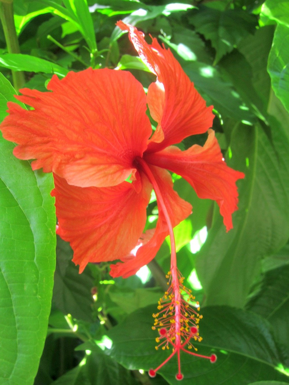 Hibiscus Flowers are very common in Townsville.