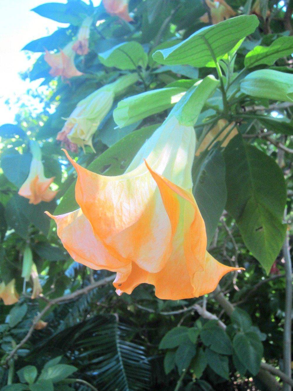Trumpet Flower Bush