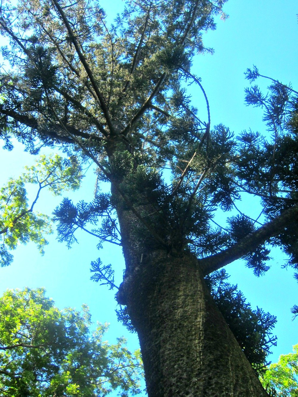 Hoop Pine at Queens Gardens, Townsville