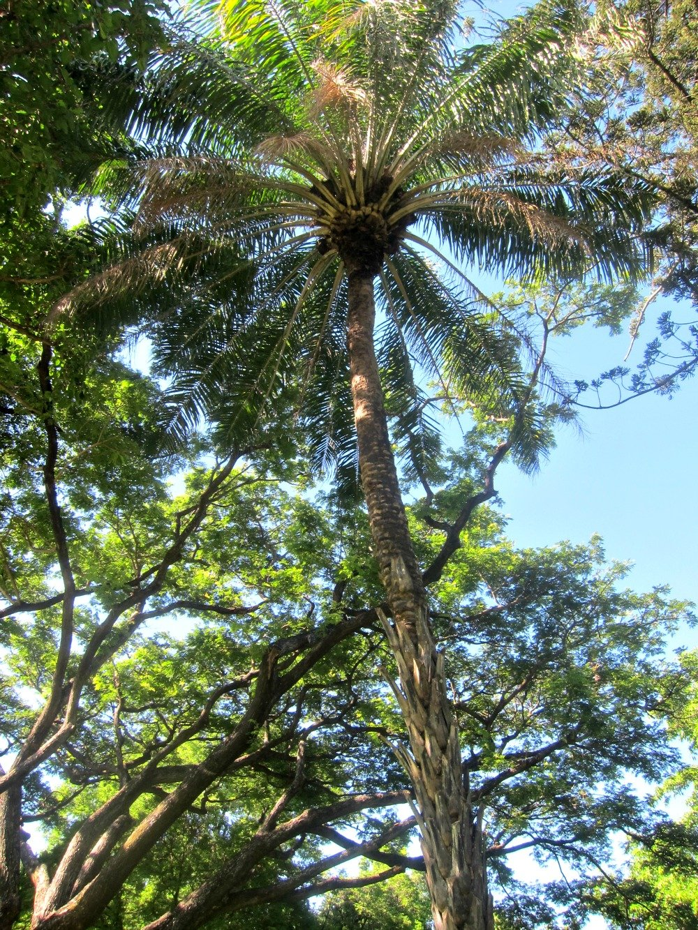 A tall palm tree in Queens Gardens, Townsville