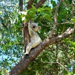 Koalas on the Forts Walk Magnetic Island