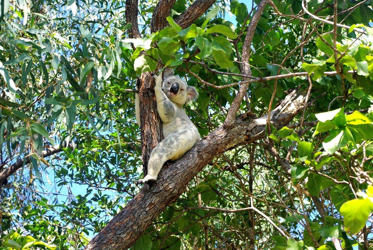 Forts Walk Koala