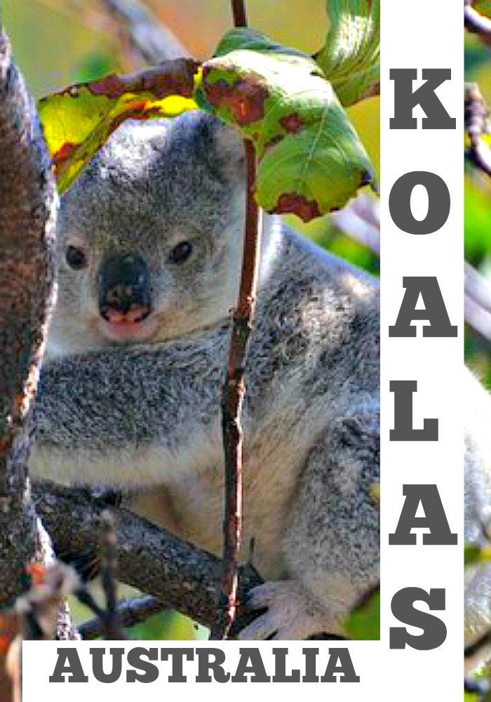 Find Koalas on the Forts Walk on Magnetic Island in North Queensland Australia