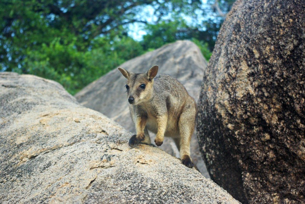 Allied Rick Wallaby