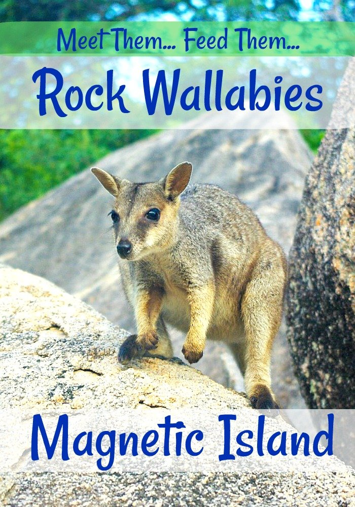 Cute Rock Wallabies live amongst the rocks on Magnetic Island in North Queensland, Australia