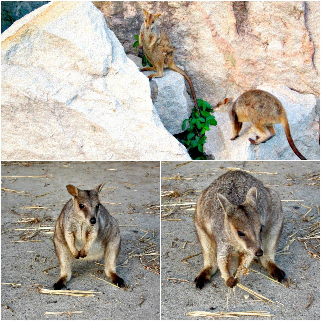 Rock Wallaby Collage