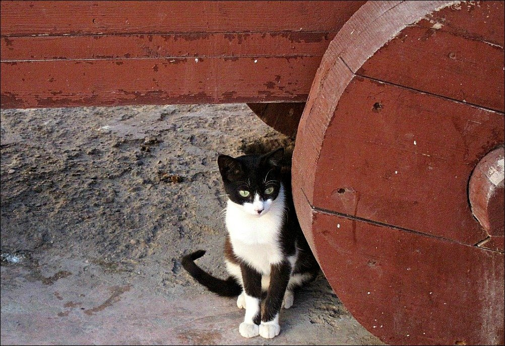 Essaouira in Morocco has a huge population of Cat