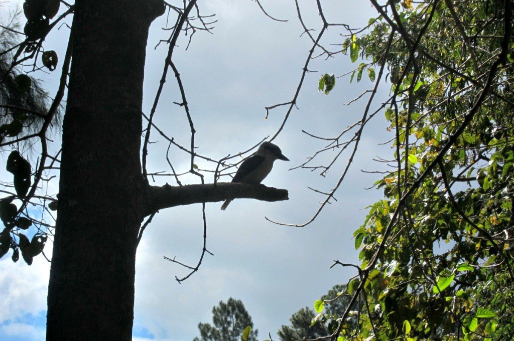 Kookaburra at Kuranda beside the Barron River