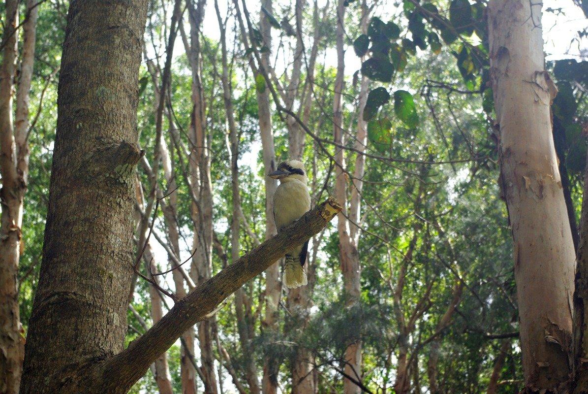 Kuranda Kookaburra