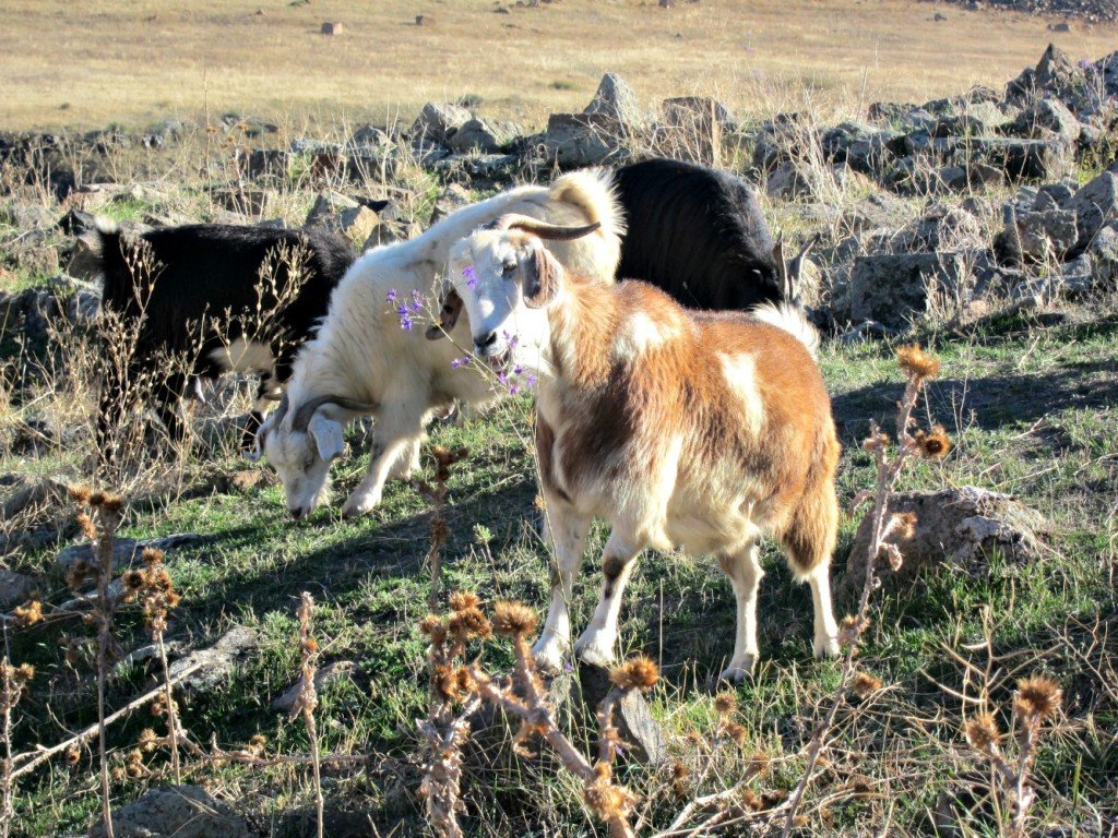 Goats at the Ani Ruins