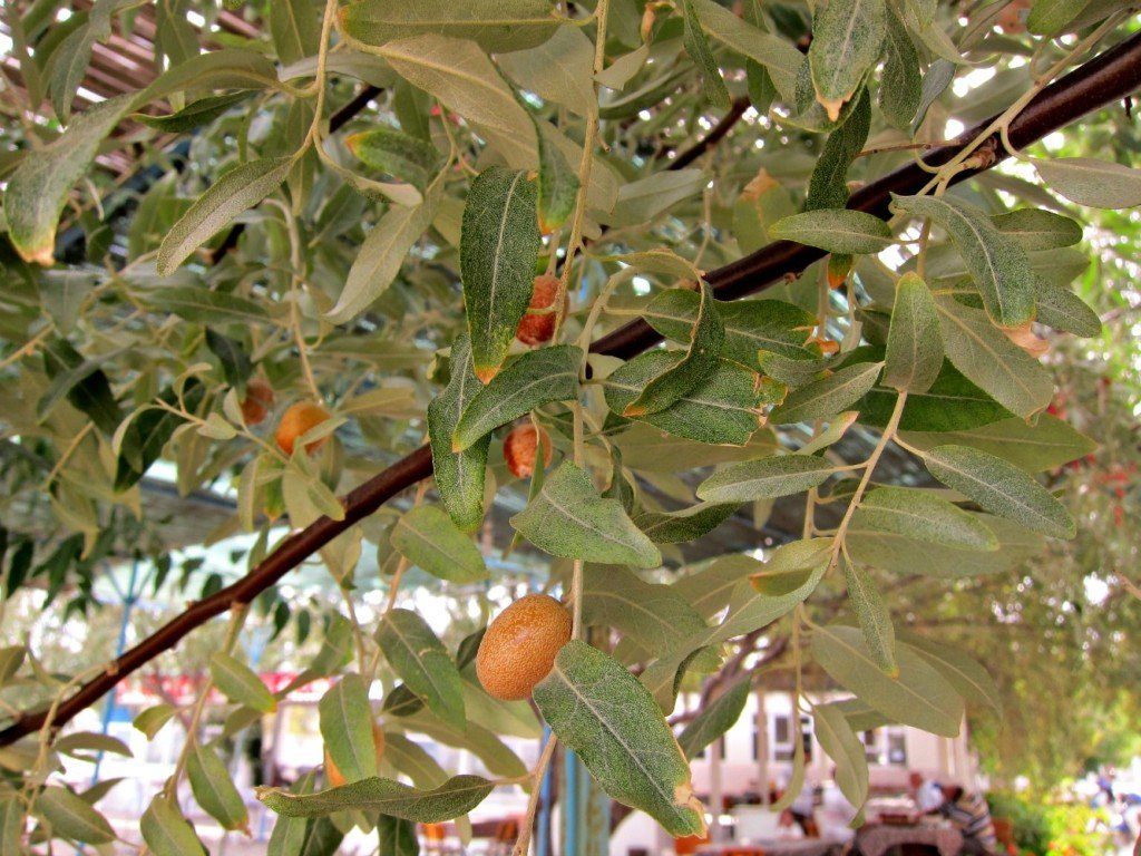 Ripe Olives hanging above our table Dalyan, Biga Peninsula, Turkey