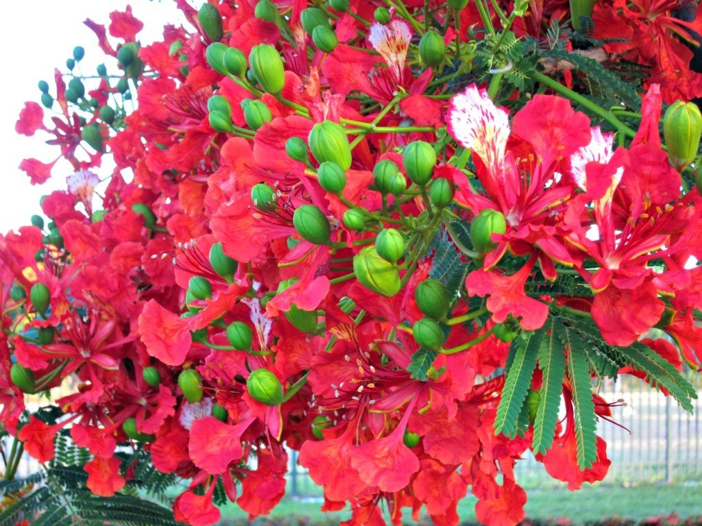 Christmas means Poinciana Flowers