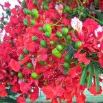 Tuesday in Townsville – Poinciana Flowers and a Happy New Year