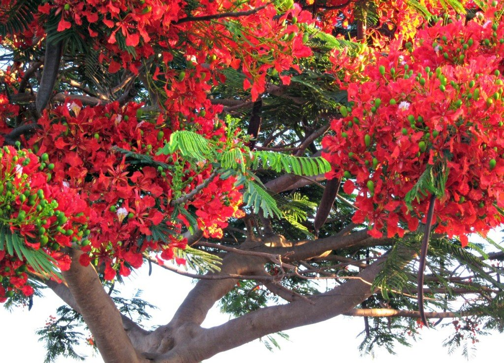Poinciana trees Love Christmas