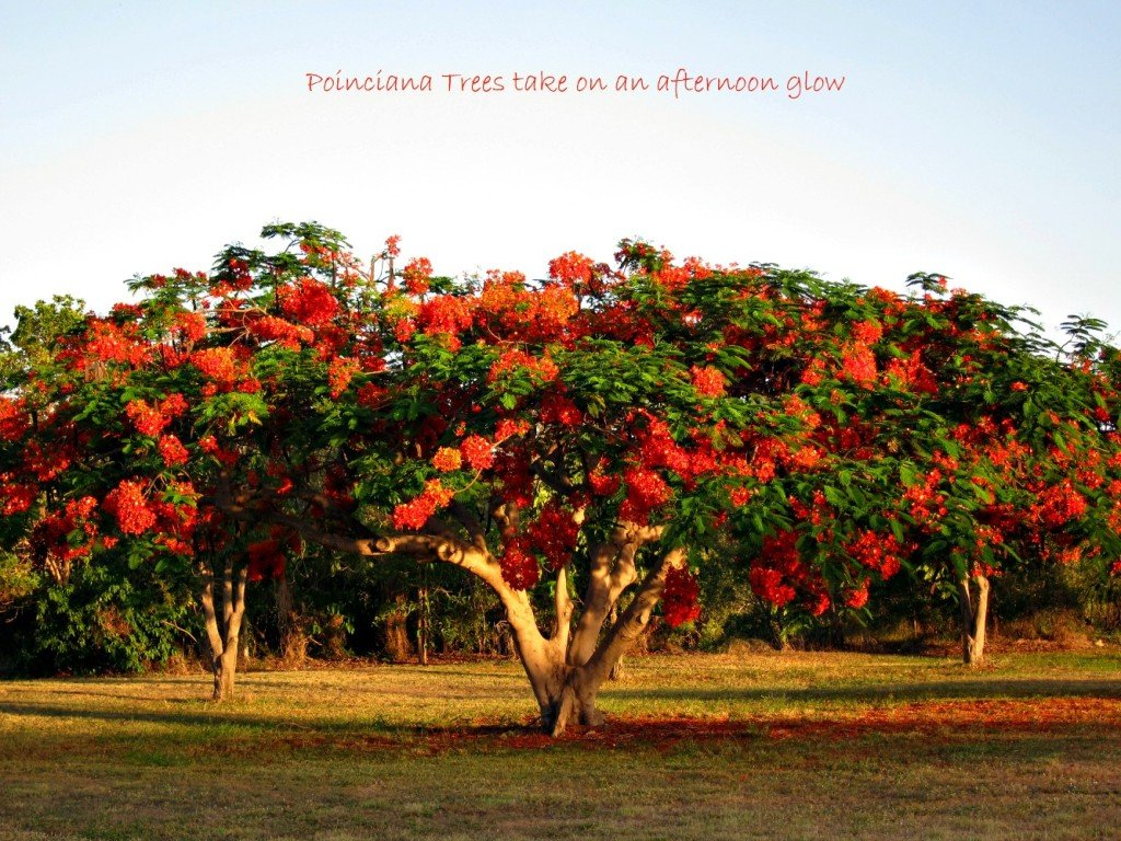 Poinciana Tree in the afternoon sun