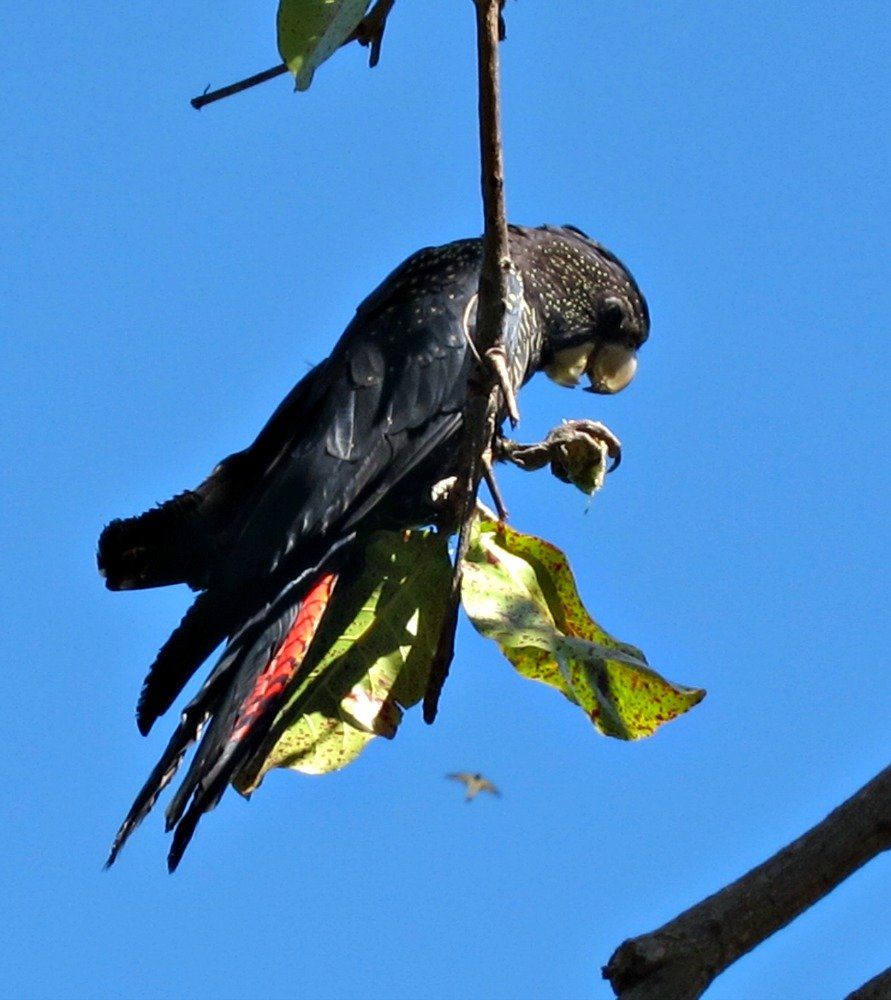 Townsville Black Cockatoo having a Christmas Feast
