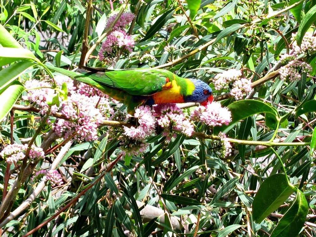 Townsville Euodia tree with Rosella Parrot